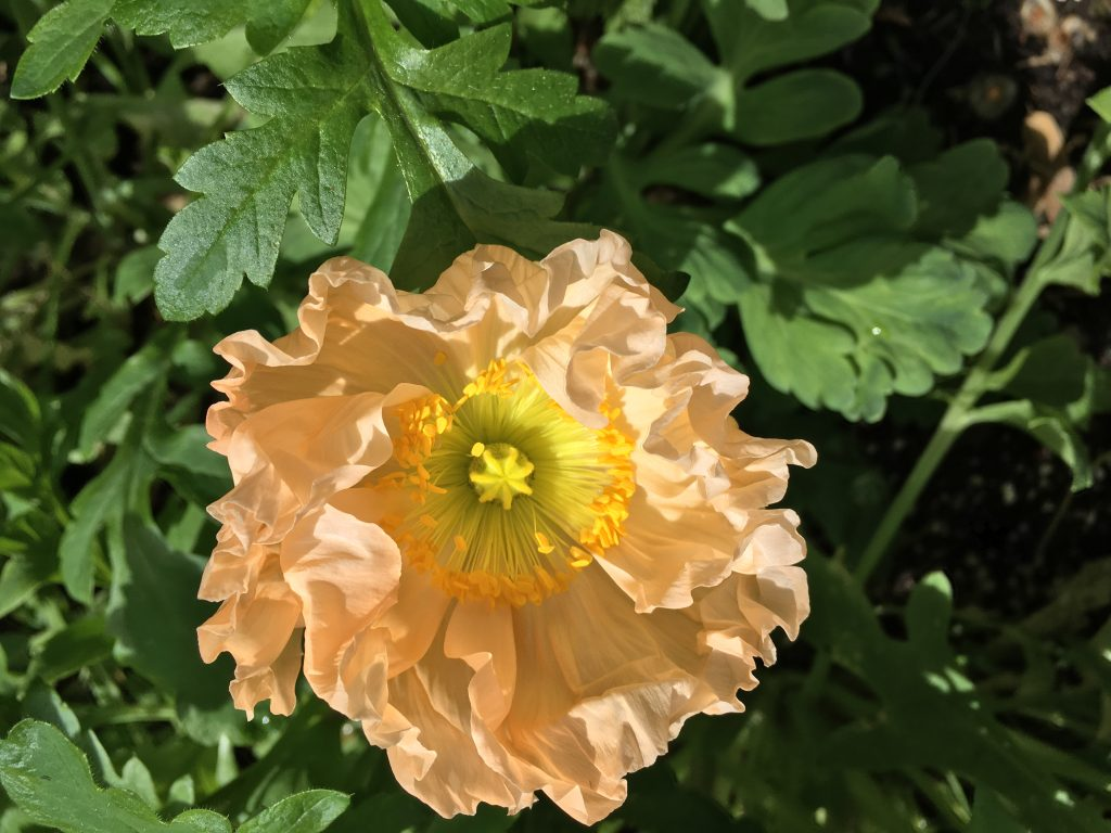 An image of a peach-colored poppy with a yellow center, grown by Folk Art Flowers in Seattle, WA.