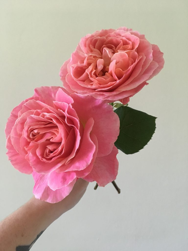 An image of two pink garden roses that are almost fully open, with swirling internal petals. Grown by Folk Art Flowers in Seattle, WA.