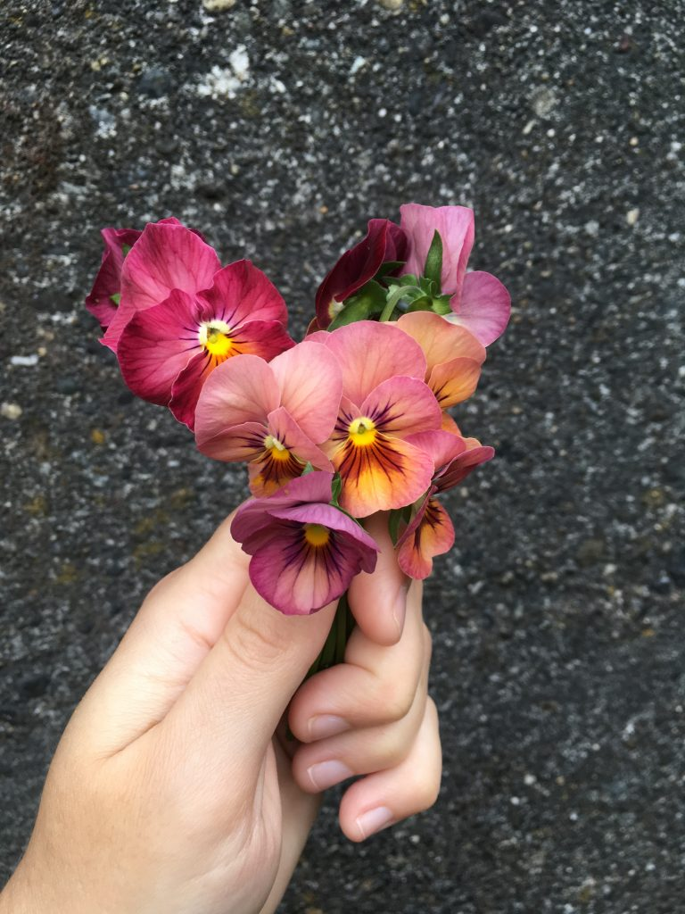 An image of a handful of mauve, blush, and yellowish pansies against a dark background, grown by Folk Art Flowers in Seattle, WA.