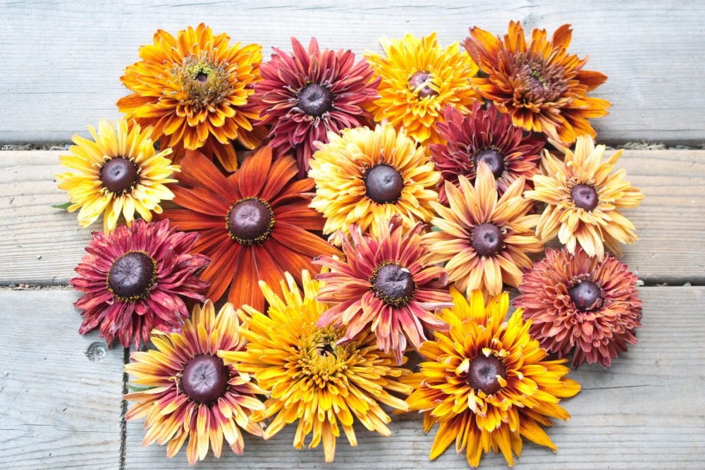 rudbeckia in an array of colors from yellows to browns and reds laid flat