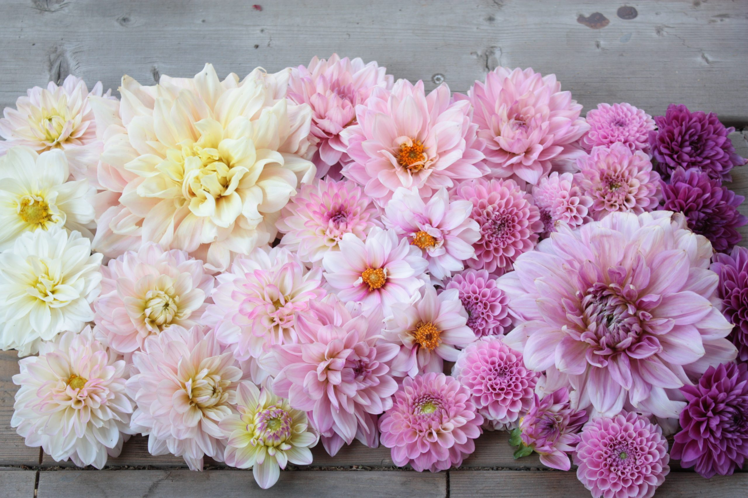pink dahlias summer dahlias wedding flowers
