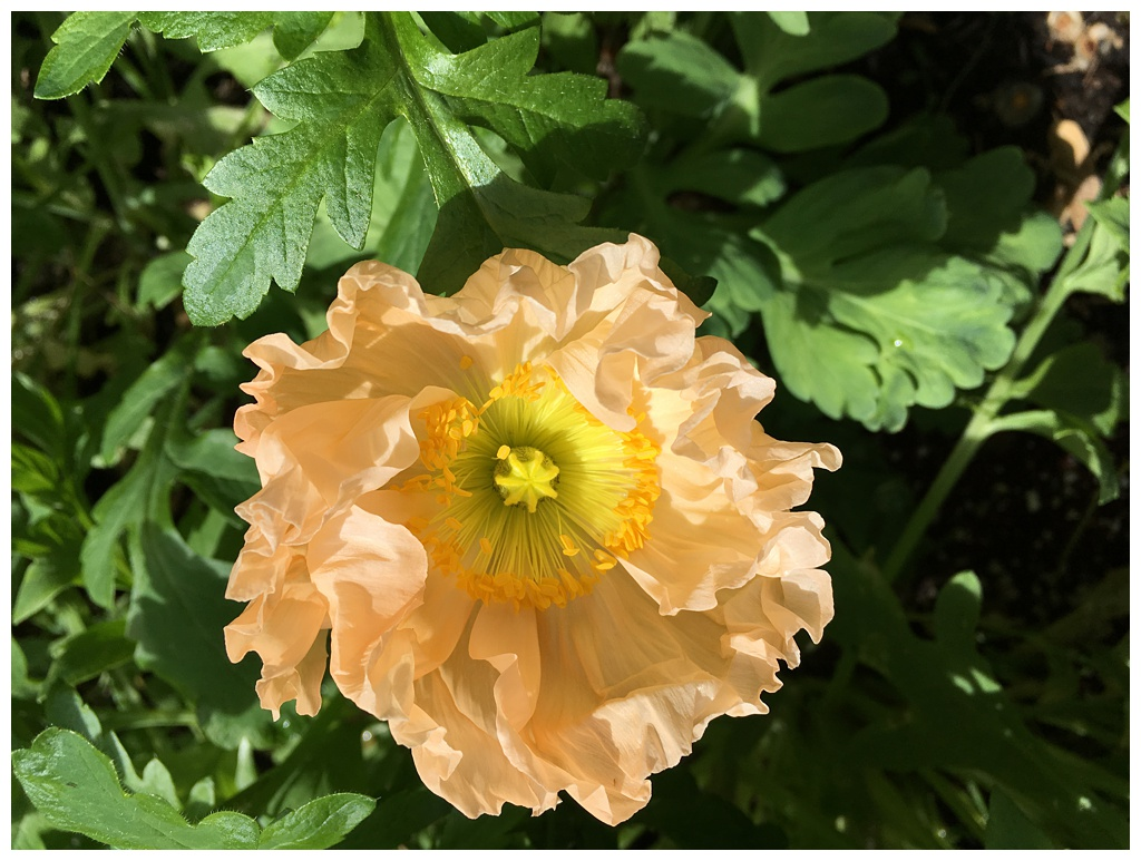 a frilly peach colored poppy growing in the field