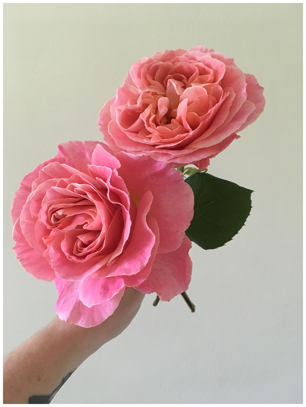 pink garden roses being held against a white wall, fresh from the garden