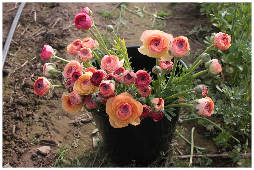 a bucket of salmon ranunculus freshly harvested from the flower field
