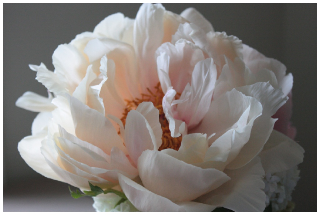 a peony flower that is fully open and faded to a blush color against a dark backdrop
