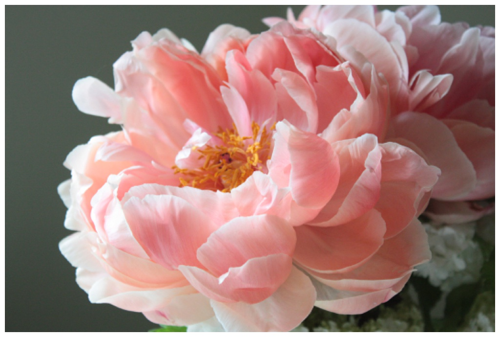 a coral colored peony flower opening up
