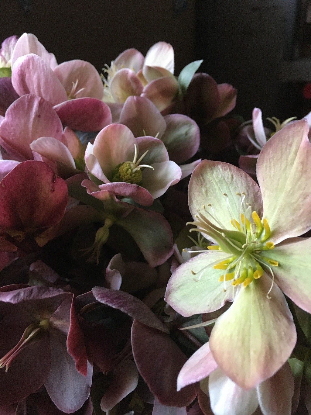 Locally grown hellebores from Washington