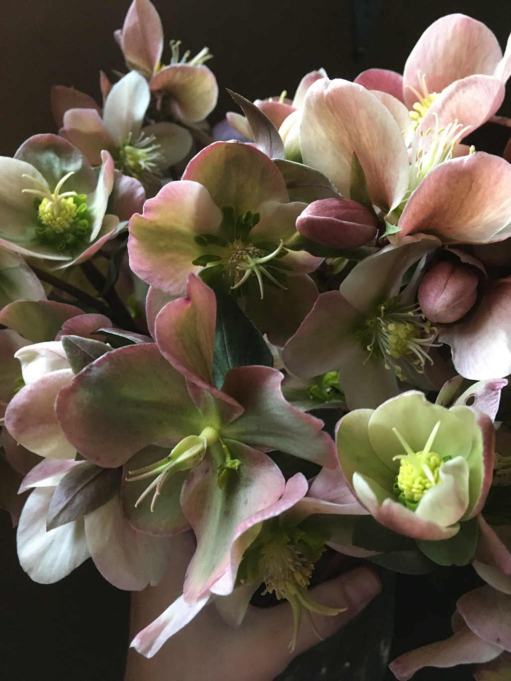 Pink and green hellebores locally grown in Washington