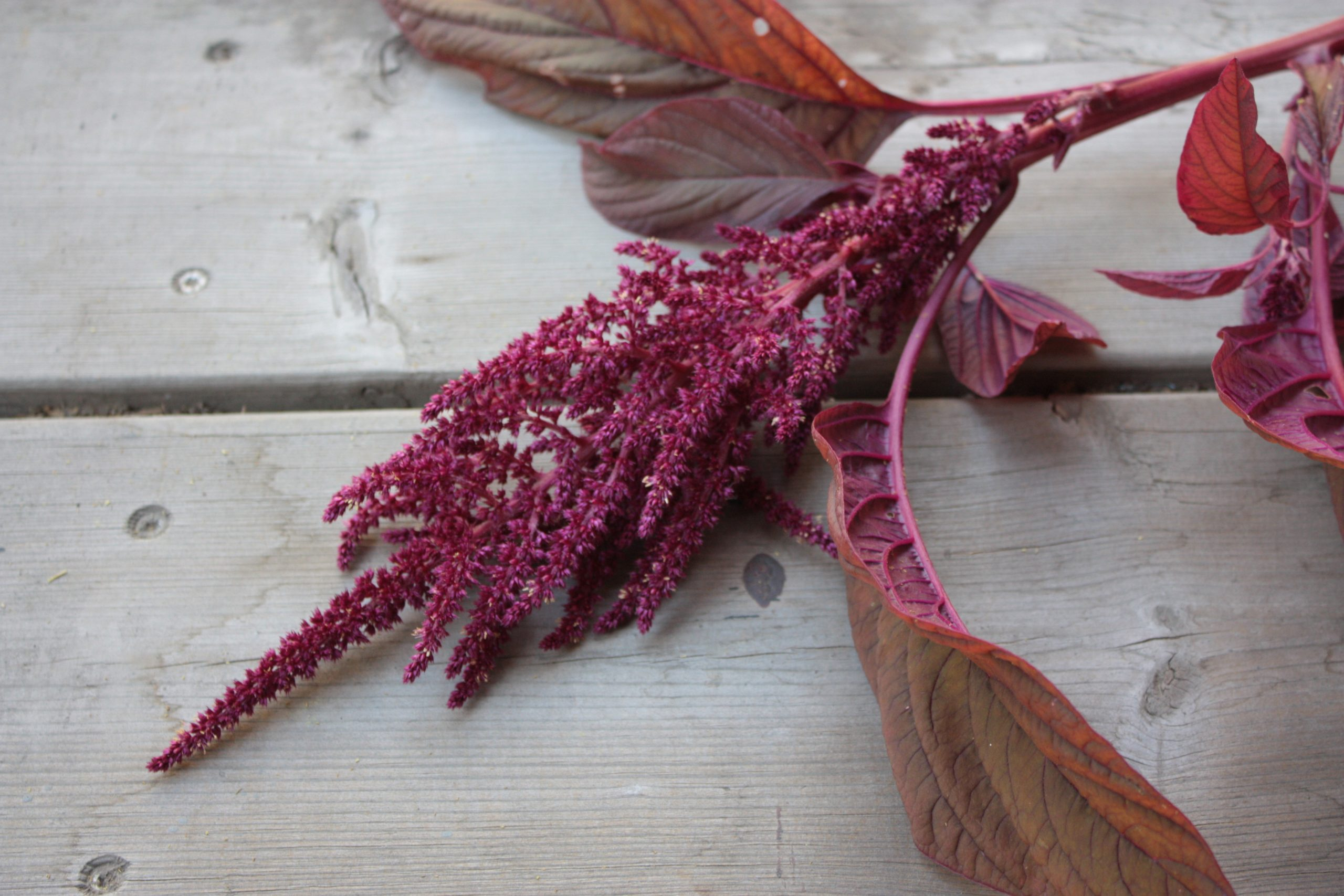 red amaranth on a wooden background