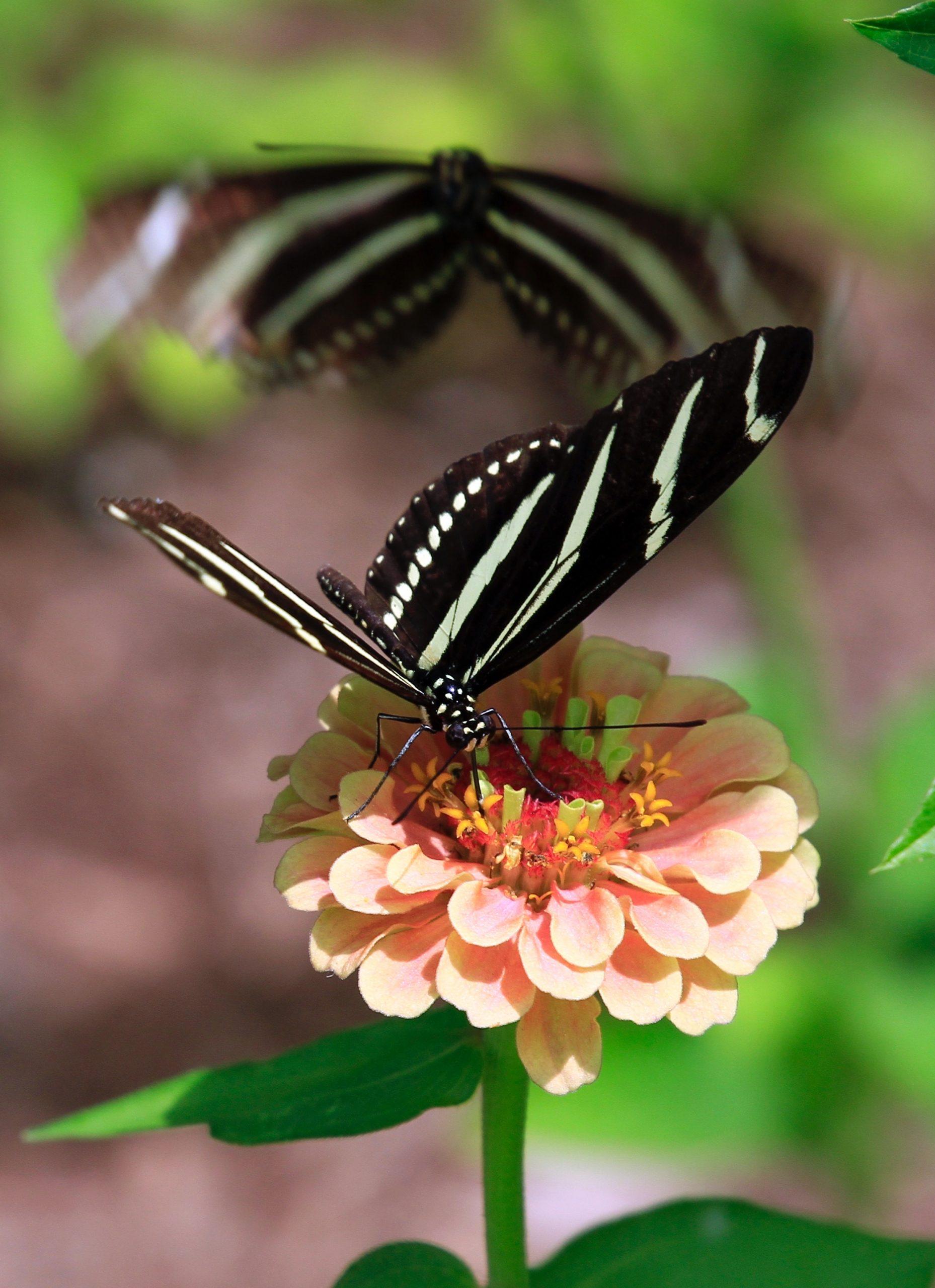 a butterfly landing on a pink zinnia