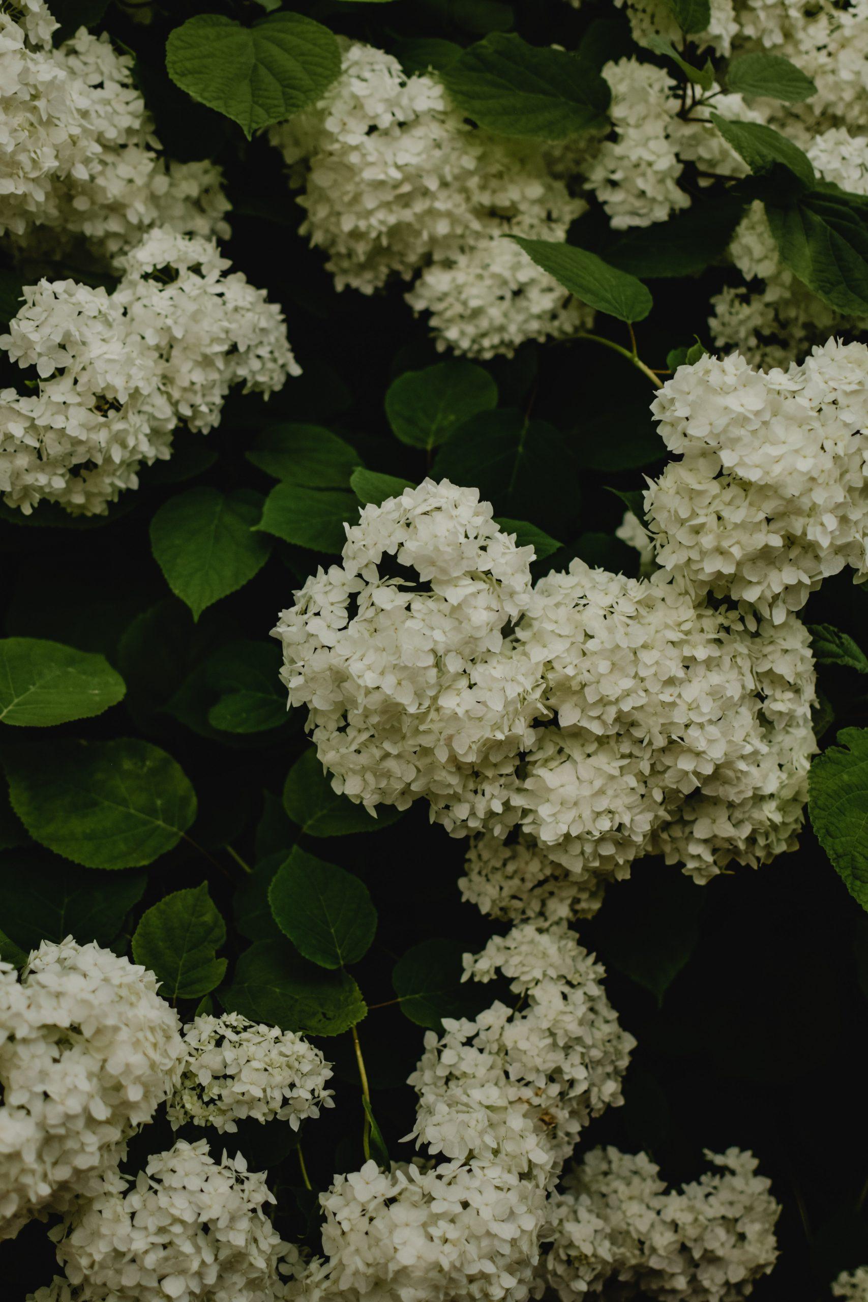 white hydrangea in the garden