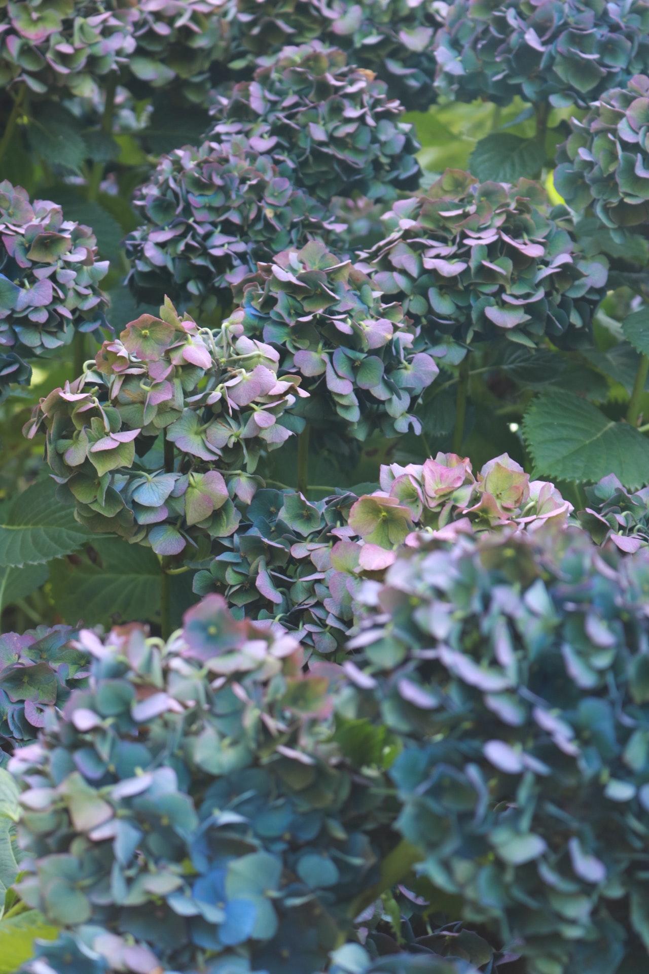 metallic, shimmery blue and purple hydrangea in the garden